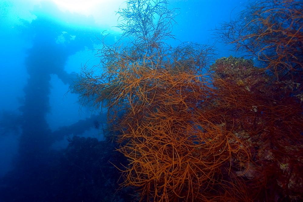 Soft coral (Rumphella sp.) and frame silhouette, Shinkoku Maru shipwreck, Truk lagoon, Chuuk, Federated States of Micronesia, Caroline Islands, Micronesia, Pacific Ocean, Pacific