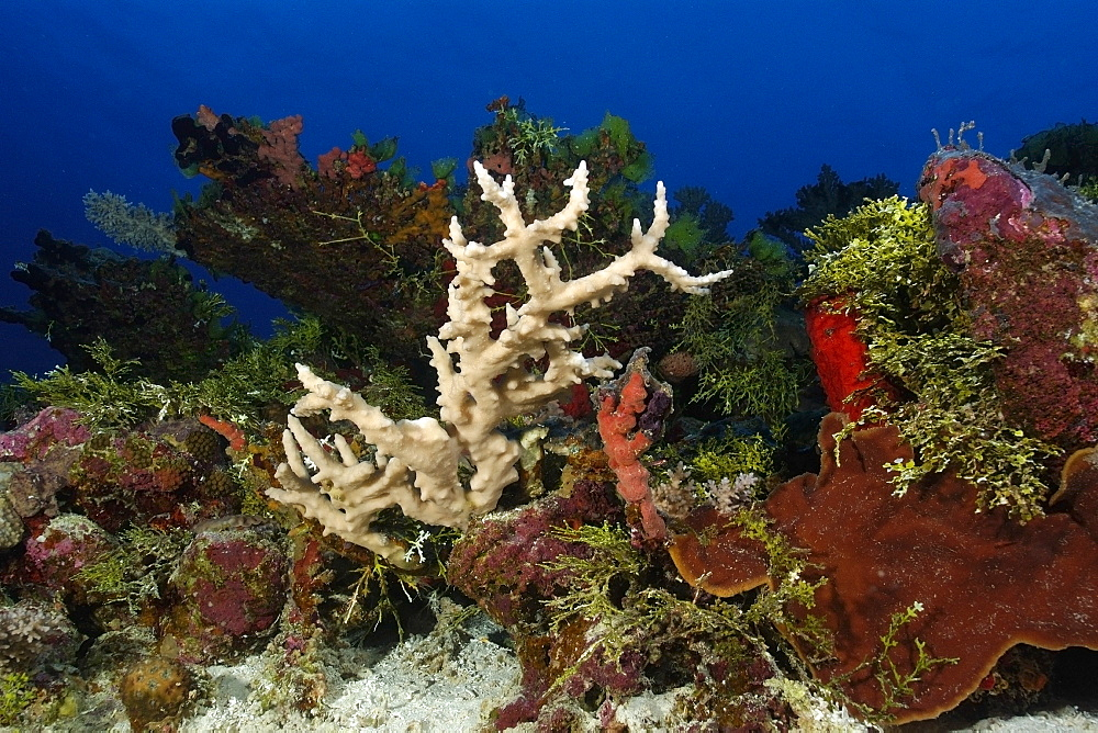 Coral (Acropora sp.), Rongelap, Marshall Islands, Micronesia, Pacific