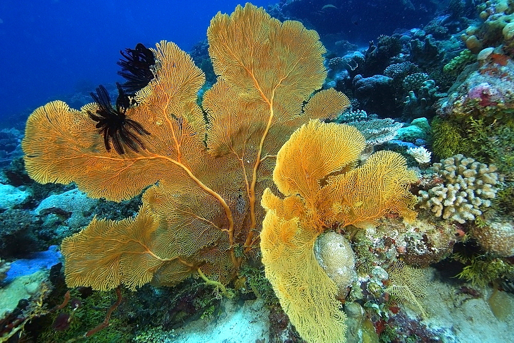 Fan coral (Subergorgia sp.), with black feather stars attached, Namu atoll, Marshall Islands, Pacific