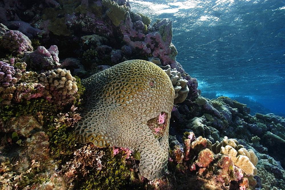 Massive faviid coral colony, Rongelap, Marshall Islands, Micronesia, Pacific