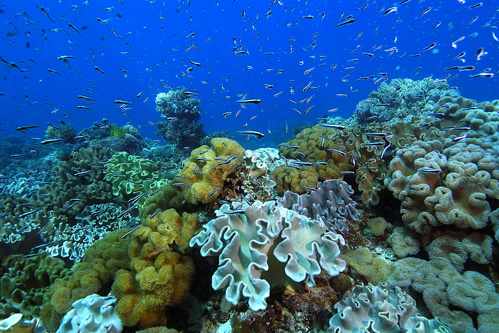 Juvenile fish hover over coral reef, Rocky Point, Apo island Marine Reserve, Philippines, Southeast Asia, Asia