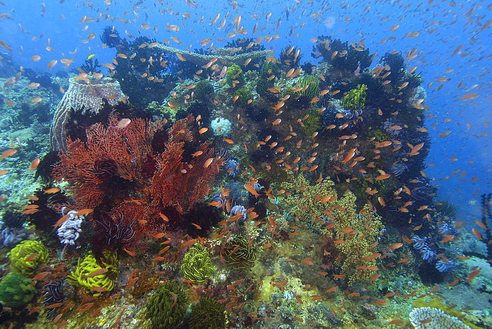 Highly diverse coral head, including hard and soft corals, feather stars, and anthias, Kilima steps, Puerto Galera, Mindoro, Philippines, Southeast Asia, Asia