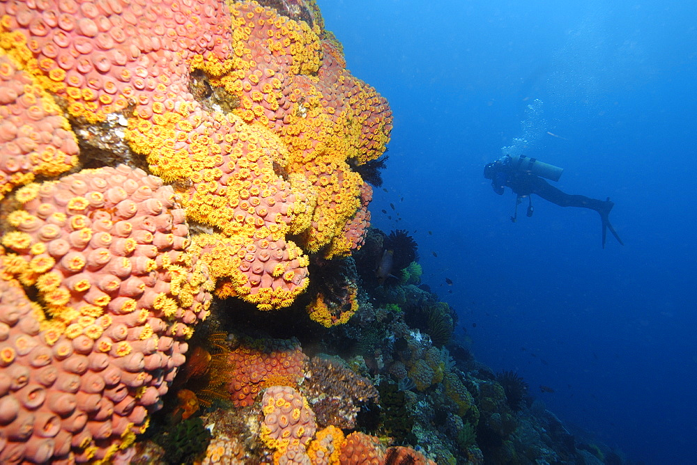 Diver explores the reef wall covered with orange cup coral (Tubastrea sp.), Coconut point, Apo island Marine Reserve, Philippines, Southeast Asia, Asia