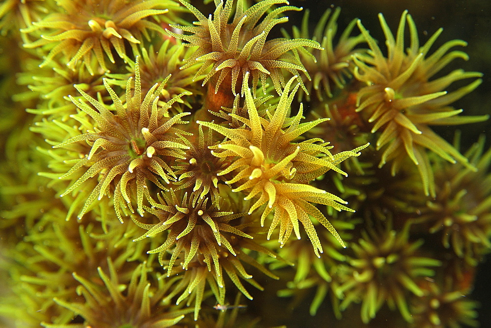 Green coral (Tubastrea micrantha), detail of open polyps at night, West Escarceo, Puerto Galera, Mindoro, Philippines, Southeast Asia, Asia