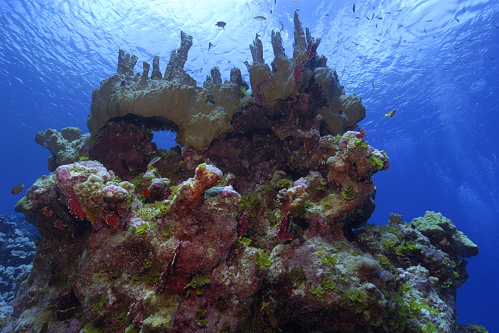 Fire coral (Millepora platyphylla), Ailuk atoll, Marshall Islands, Pacific