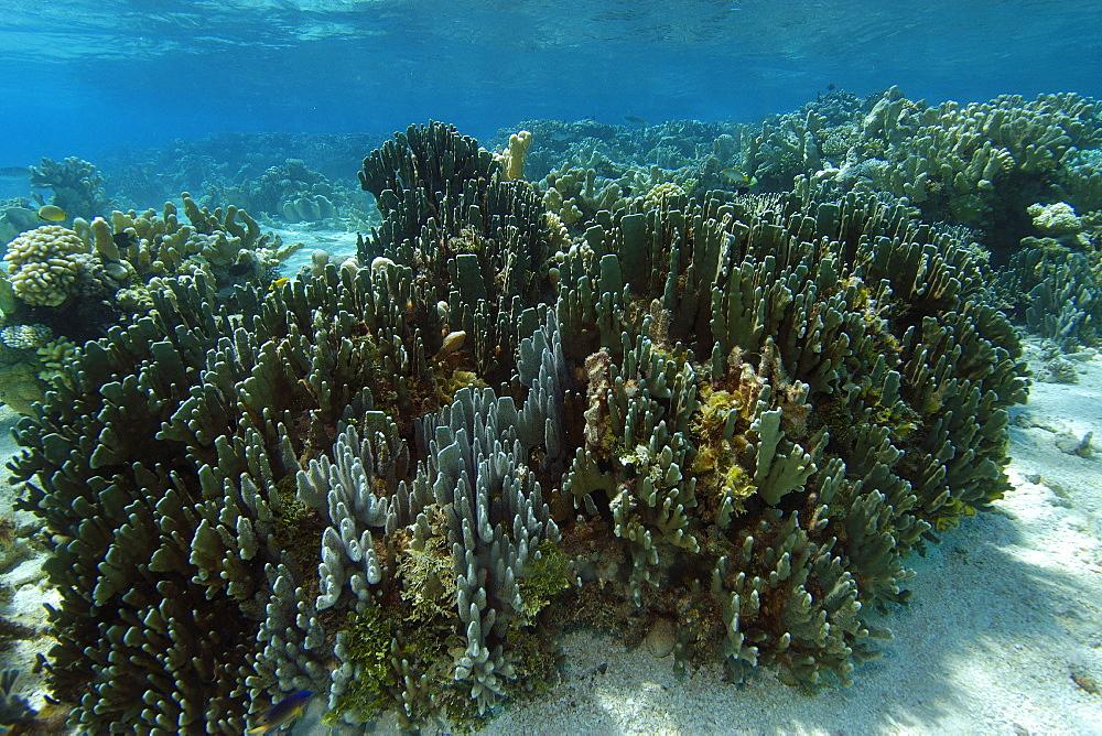Blue coral (Heliopora coerulea), Namu atoll, Marshall Islands, Pacific