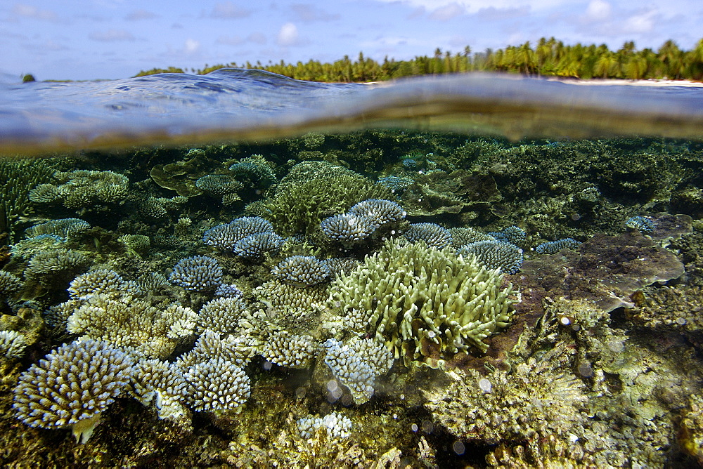 Over under image of coral reef ( Acropora spp.) and trees at Majikin Island, Namu atoll, Marshall Islands, Pacific