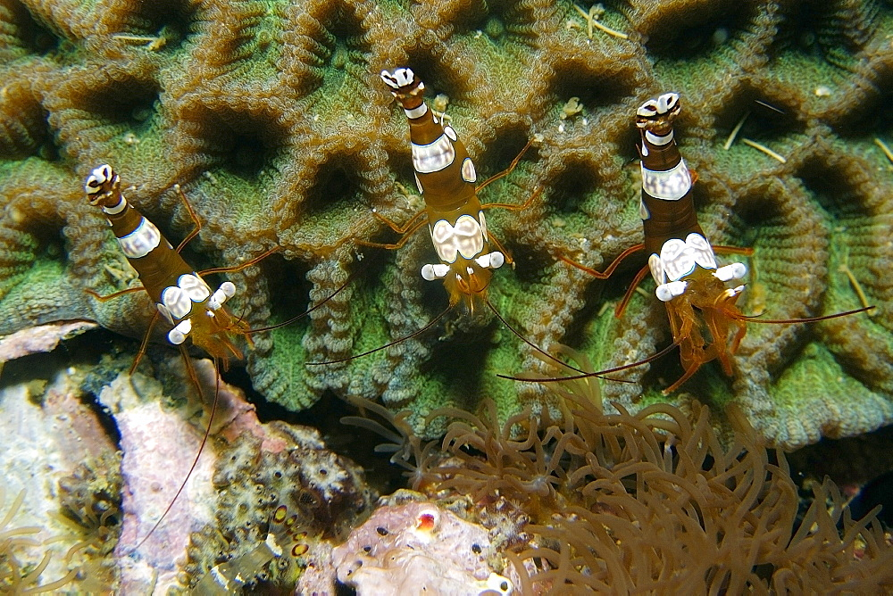 Anemone shrimp (squat shrimp) (Thor amboinensis), Gato Island, Cebu, Philippines, Southeast Asia, Asia
