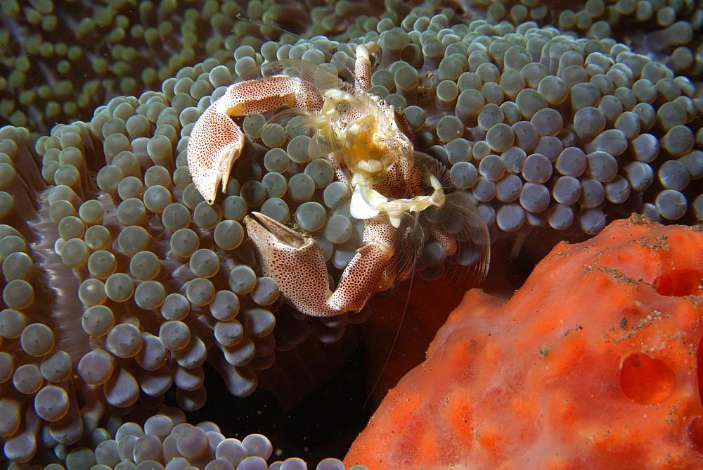 Porcelain anemone crab (Neopetrolisthes maculatus), molting, Dumaguete, Negros Island, Philippines, Southeast Asia, Asia