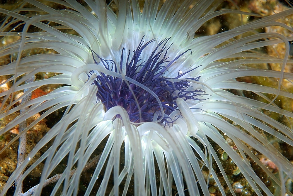 Tube anemone close-up, Dumaguete, Negros Island, Philippines, Southeast Asia, Asia
