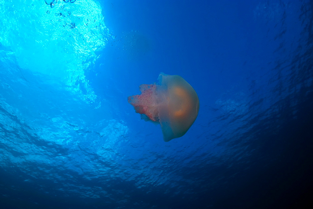 Scyphozoan jellyfish, Truk lagoon, Chuuk, Federated States of Micronesia, Caroline Islands, Micronesia, Pacific Ocean, Pacific