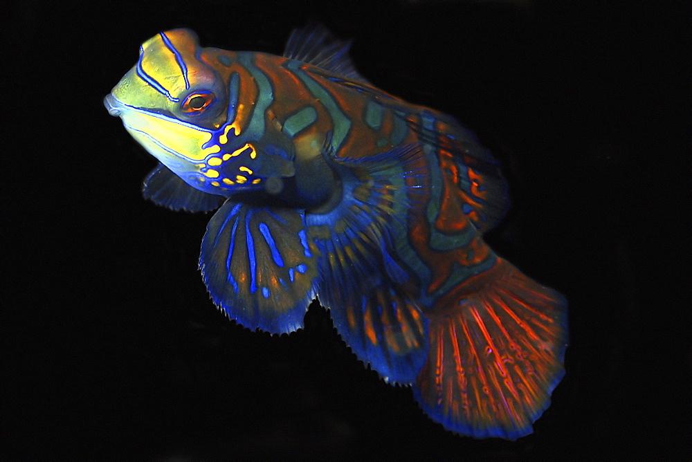 Mandarinfish (Synchiropus splendidus) male, Malapascua, Cebu, Philippines, Visayan Sea, Southeast Asia, Asia