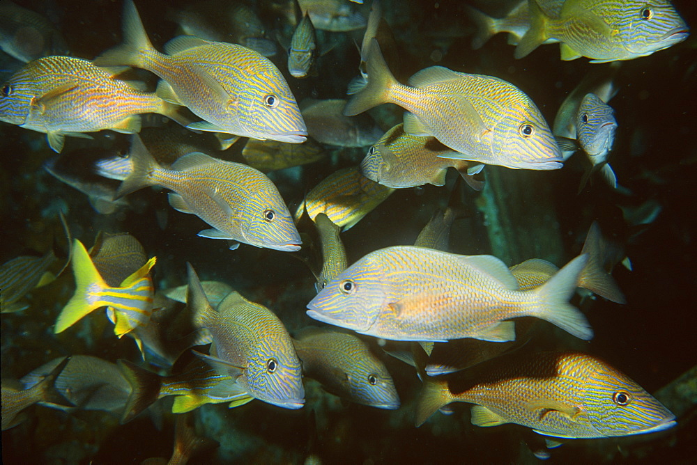 School of white grunts (Haemulon plumieri), Duane shipwreck, Key Largo, Florida, United States of America, Atlantic Ocean, North America