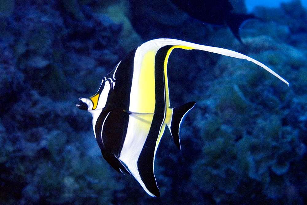 Moorish idol (Zanclus cornutus), Ailuk atol, Marshall Islands, Pacific