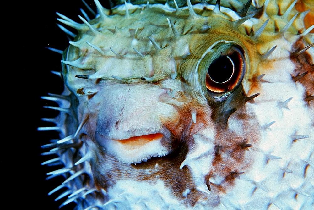 Black-blotched porcupinefish (Diodon liturosus), Similan Islands, Thailand, Andaman Sea, Southeast Asia, Asia