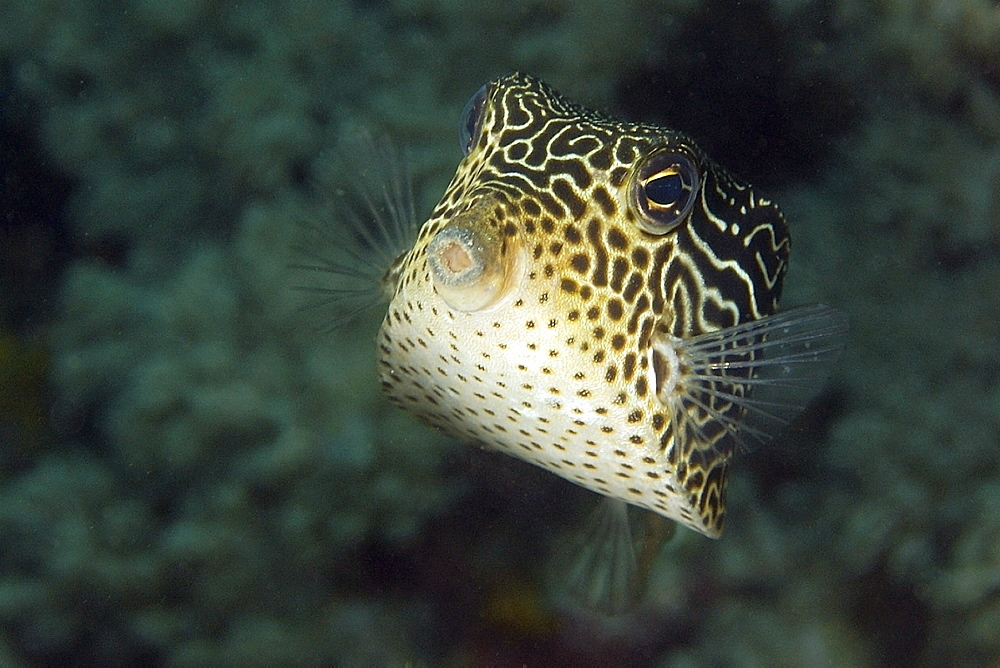 Solor boxfish (Ostracion solorensis) female, Puerto Galera, Mindoro, Philippines, Southeast Asia, Asia