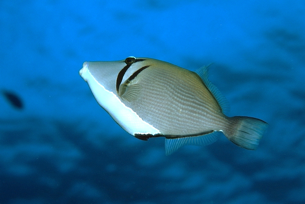 Lei triggerfish (Sufflamen bursa), Palea Point, Oahu, Hawaii, United States of America, Pacific