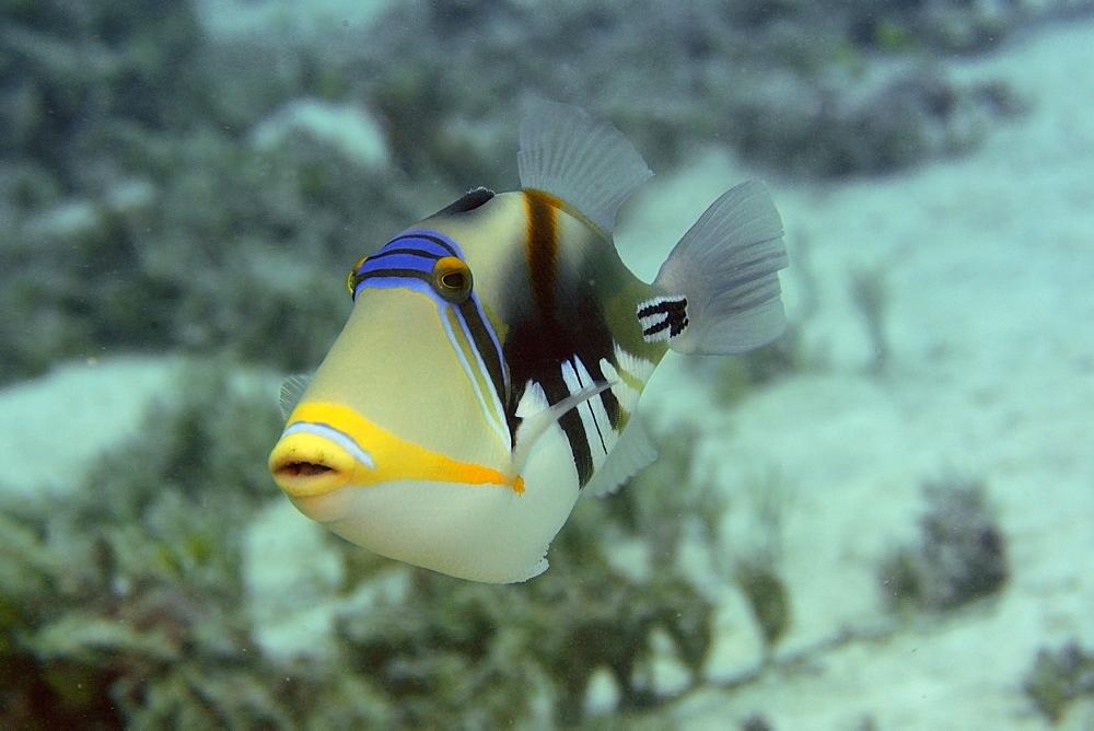 Picasso triggerfish (blackbar triggerfish) (Rhinecanthus aculeatus), Rongelap, Marshall Islands, Micronesia, Pacific