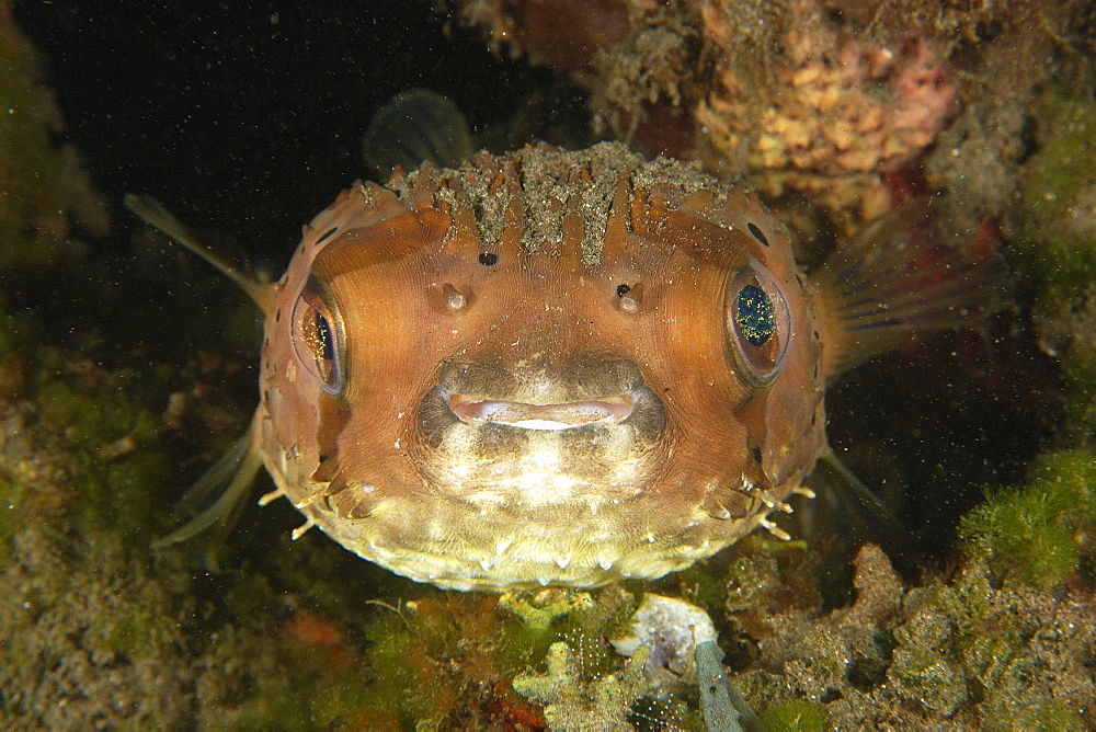 Balloonfish (Diodon holocanthus) at night, Dumaguete, Negros, Philippines, Southeast Asia, Asia - 920-2538