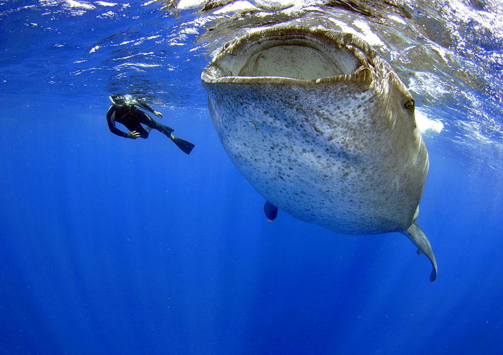 Whale shark (Rhincodon typus), Quintana-Roo, Mexico, Caribbean Sea, North America - 920-254