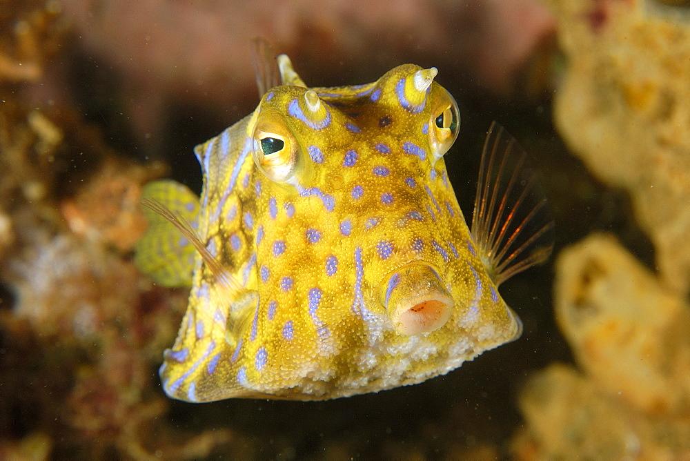 Thornback cowfish (Lactoria fornasini), Sabang wreck, Puerto Galera, Mindoro, Philippines, Southeast Asia, Asia