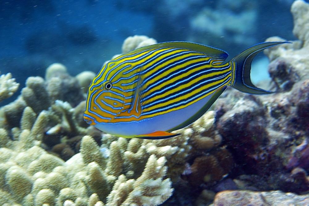 Lined surgeonfish (Acanthurus lineatus), Rongelap, Marshall Islands, Micronesia, Pacific