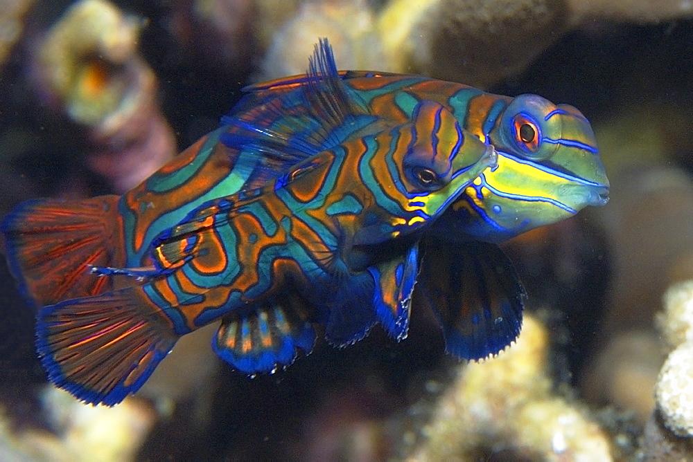 Pair of mandarinfish (Synchiropus splendidus) mating, Malapascua, Cebu, Philippines, Visayan Sea, Southeast Asia, Asia