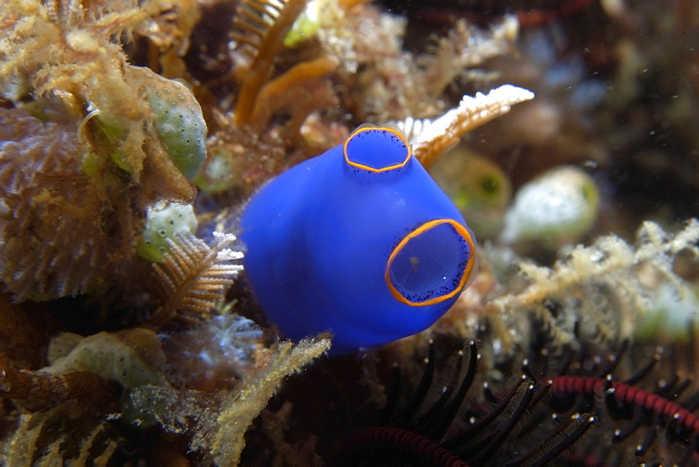Ascidian (Pycnoclavella diminuta), Lapus Lapus Island marine park,  Malapascua, Cebu, Philippines, Southeast Asia, Asia