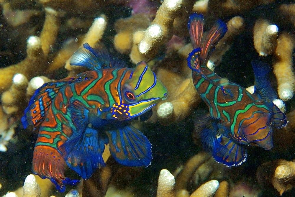 Pair of mandarinfish (Synchiropus splendidus) displaying spawning behaviour, Malapascua, Cebu, Philippines, Visayan Sea, Southeast Asia, Asia