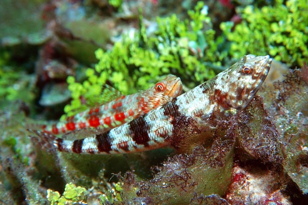 Reef lizardfish (Synodus variegatus), Rongelap, Marshall Islands, Pacific