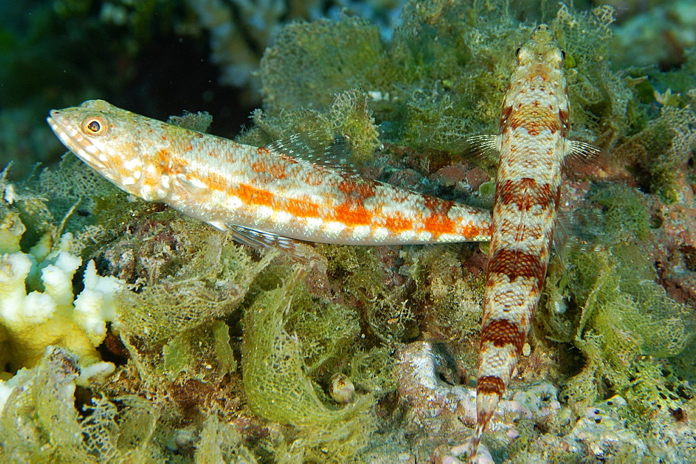 Pair of reef lizardfish (Synodus variegatus), Namu atoll, Marshall Islands, Pacific