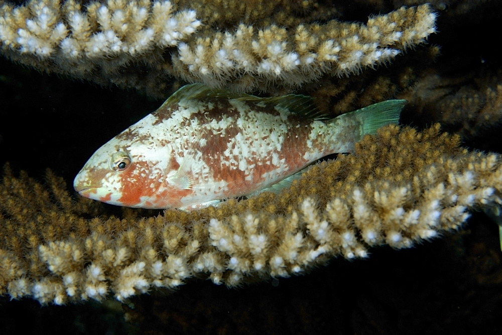 Parrotfish (Scarus sp.), sleeping between Acropora coral plates, Rongelap, Marshall Islands, Micronesia, Pacific