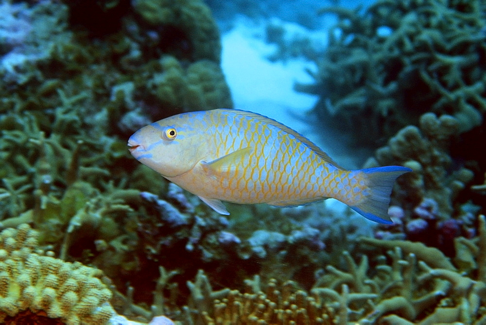 Blue-barred parrotfish (Scarus ghobban), Mili,  Marshall Islands, Pacific
