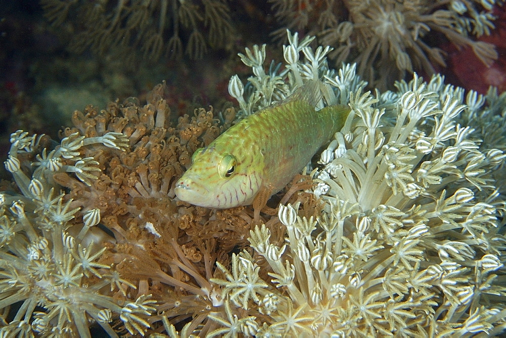Linedcheeked wrasse (Oxycheilinus digrammus) perched on flower soft coral (Xenia sp.), Puerto Galera, Mindoro, Philippines, Southeast Asia, Asia