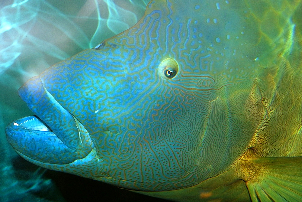 Humphead wrasse (Cheilinus undulatus) head detail, vulnerable species  found in the Indo-Pacific Oceans, photo taken in captivity