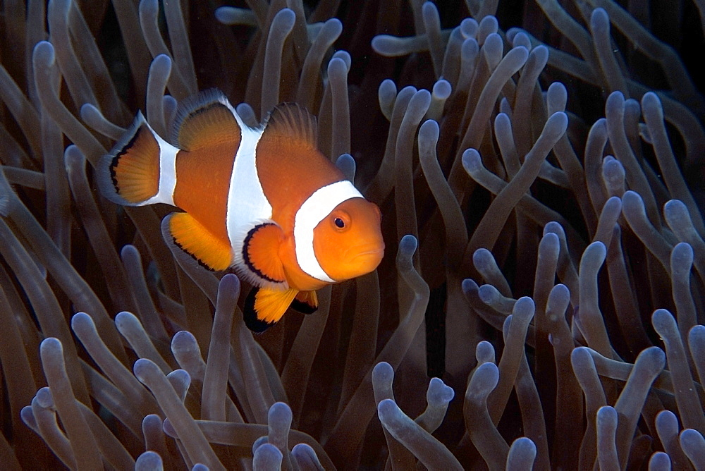 False clown anemone fish (Amphiprion ocellaris), Dauin, Dumaguete, Negros Island, Philippines, Southeast Asia, Asia