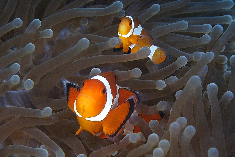 Pair of false clown anemone fish (Amphiprion ocellaris), Dauin, Dumaguete, Negros Island, Philippines, Southeast Asia, Asia