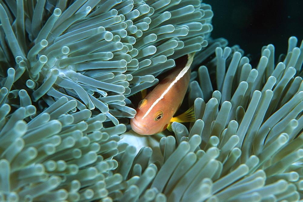 Skunk anemonefish (Amphiprion akallopisos), Similan Islands, Thailand, (Andaman Sea, Southeast Asia, Asia