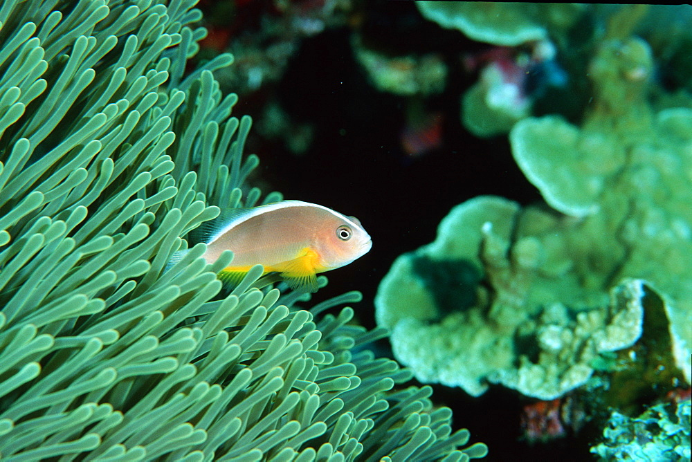 Orange anemonefish (Amphiprion sandaracinos), Similan Islands, Thailand, Andaman Sea, Southeast Asia, Asia