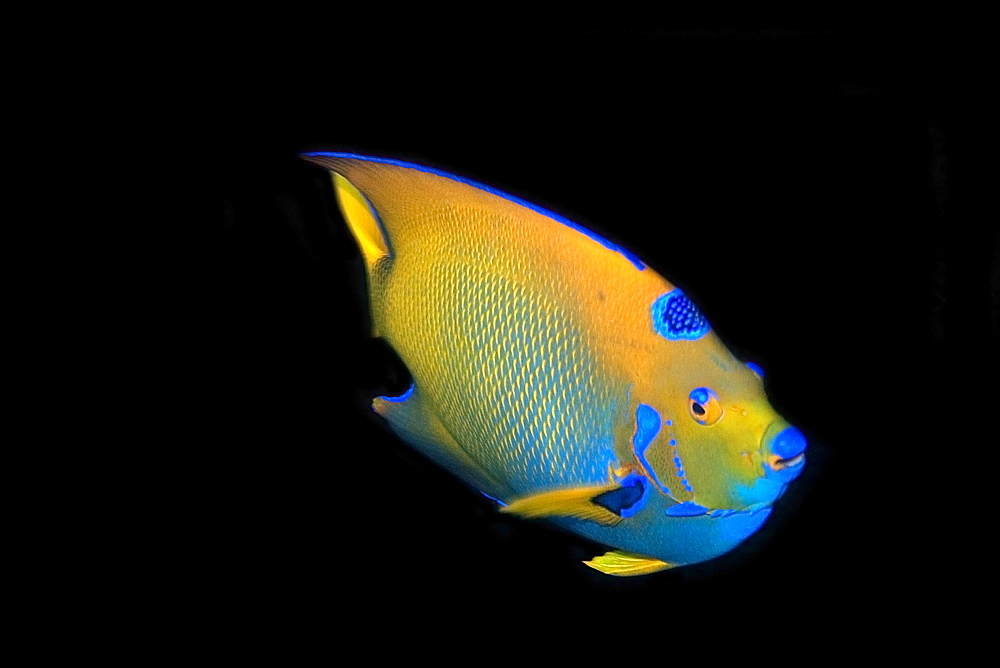 Queen angelfish (Holacanthus ciliaris), St. Peter and St. Paul's rocks, Brazil, South America - 920-2628