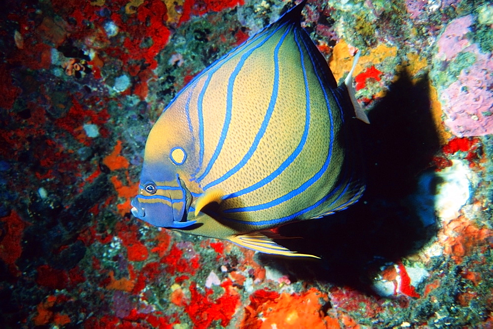 Blue-ringed angelfish (Pomacanthus annularis), Similan Islands, Thailand, Andaman Sea, Southeast Asia, Asia - 920-2632