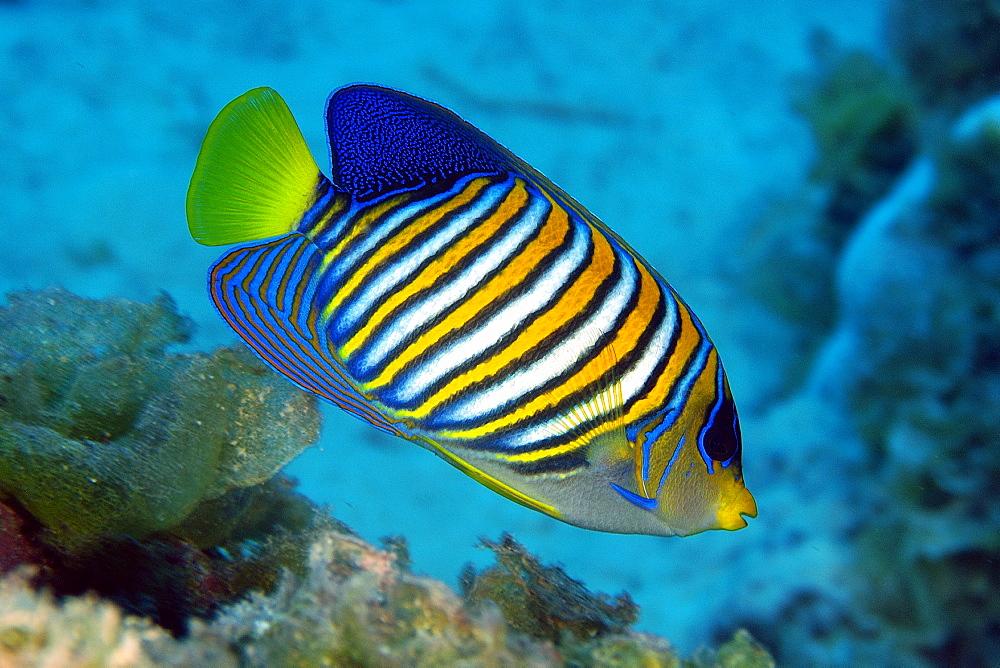 Regal angelfish (Pygoplites diacanthus), Namu atoll, Marshall Islands, Pacific