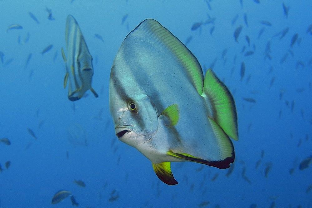 Longfin spadefish (Platax teira), Sabang wreck, Puerto Galera, Mindoro, Philippines, Southeast Asia, Asia