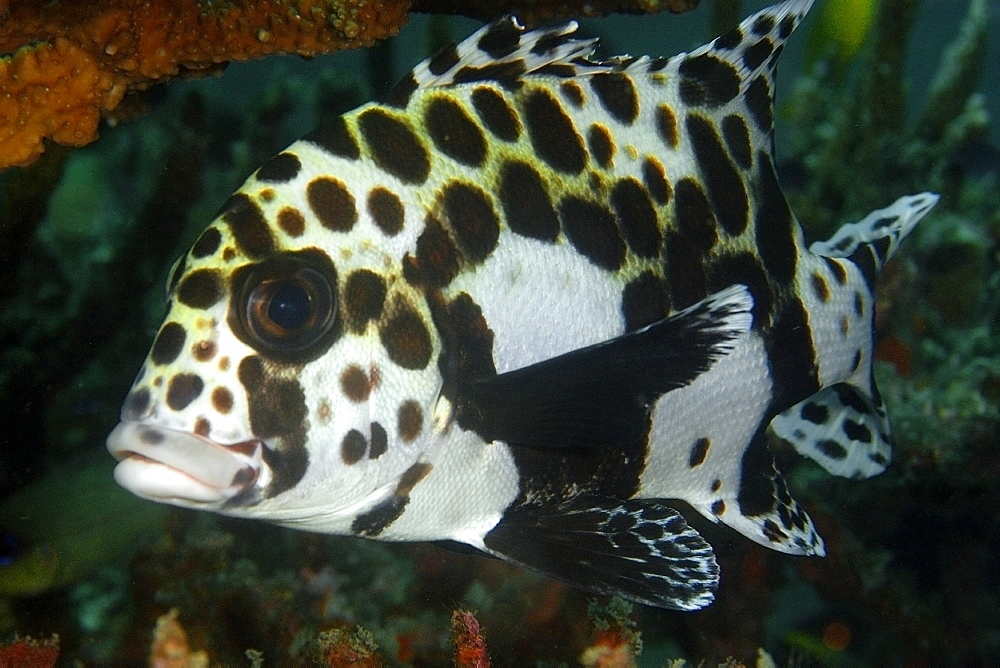 Juvenile many-spotted sweetlips (Plectorhinchus chaetodontoides), Dauin, Dumaguete, Negros Island, Philippines, Southeast Asia, Asia