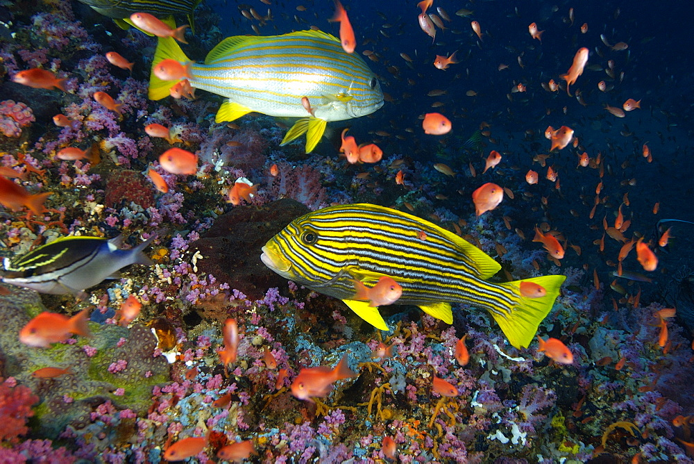 Spanish flag (Lutjanus carponotatus) and Ribbon sweetlips (Plectorhinchus polytaenia), swimming among anthias, Canyons, Puerto Galera, Philippines, Southeast Asia, Asia
