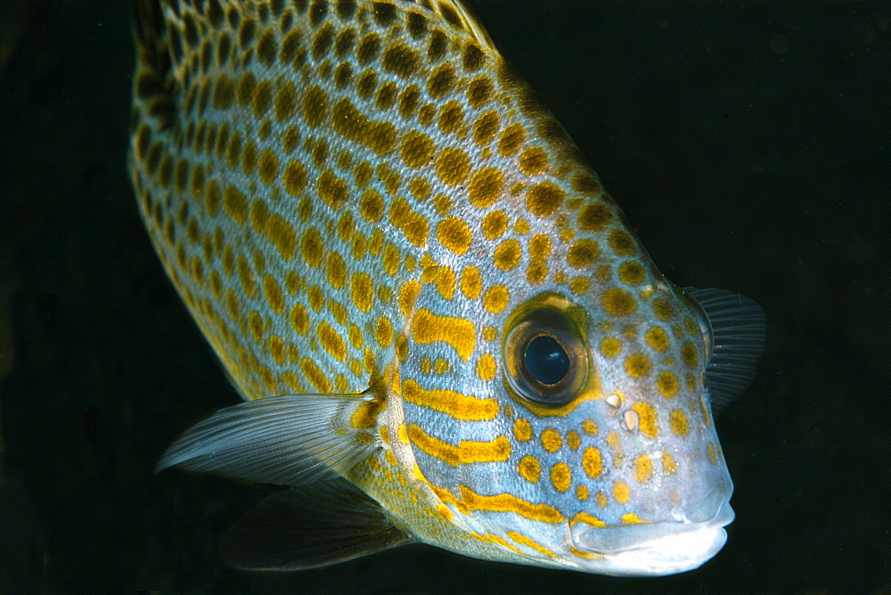 Gold-spotted sweetlips (Plectorhinchus flavomaculatus), Dumaguete, Negros Island, Philippines, Southeast Asia, Asia