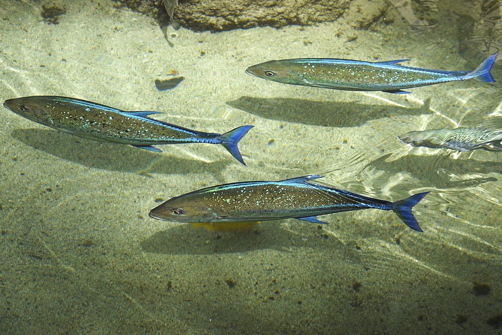 Bluefin trevallies (Caranx melampygus) swimming near surface, Oahu, Hawaii, United States of America, Pacific