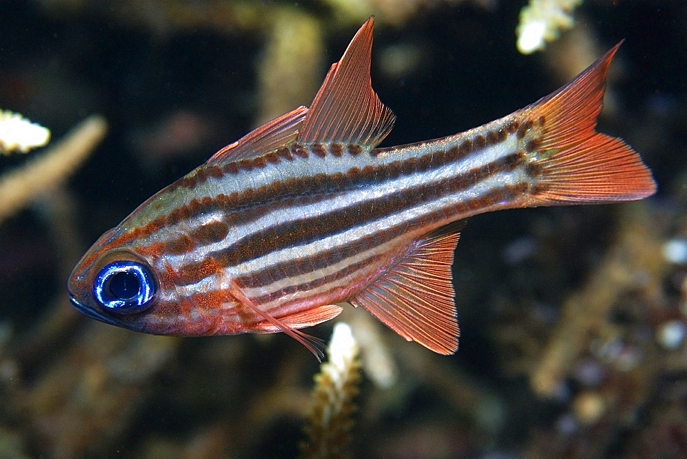 Split-banded cardinalfish (Apogon compressus), Dumaguete, Negros Island, Philippines, Southeast Asia, Asia