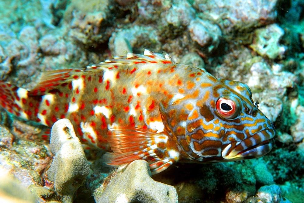 Stocky hawkfish (Cirrhitus pinnulatus), Ahihi bay, Maui, Hawaii, United States of America, Pacific