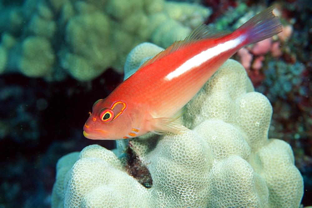 Arc-eye hawkfish (Paracirrhites arcatus), Kailua-Kona, Hawaii, United States of America, Pacific